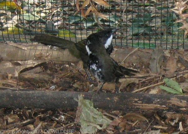 Eastern Whipbird | Psophodes olivaceus photo