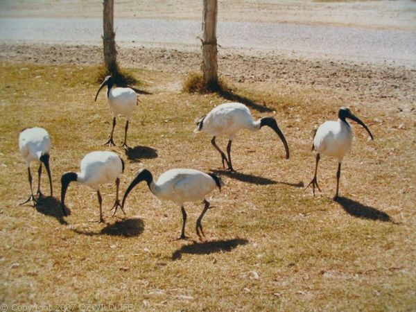 Australian White Ibis | Threskiornis molucca photo