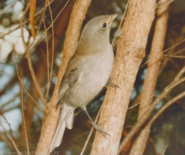 Grey Shrike-thrush | Colluricincla harmonica photo