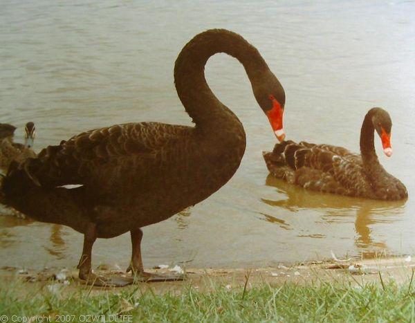 Black Swan   Cygnus atratus photo