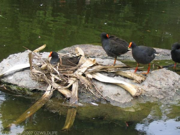 Dusky Moorhen | Gallinula tenebrosa photo