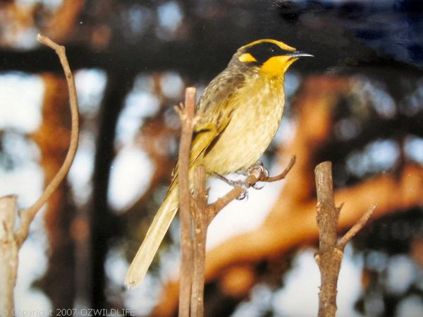 Yellow-tufted Honeyeater | Lichenostomus melanops photo