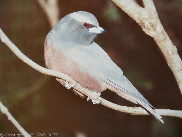 White-browed Woodswallow | Artamus superciliosus photo