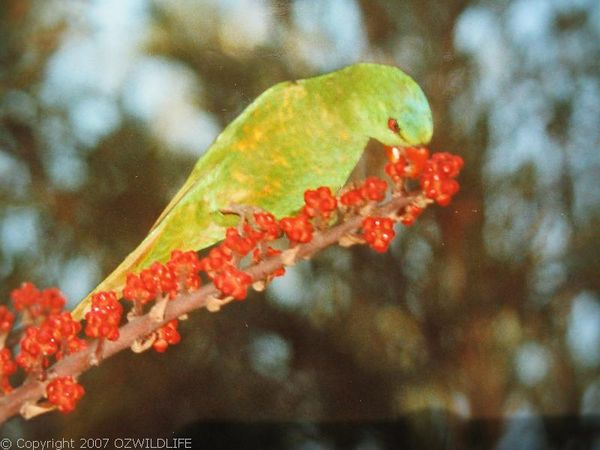 Scaly-breasted Lorikeet | Trichoglossus chlorolepidotus photo