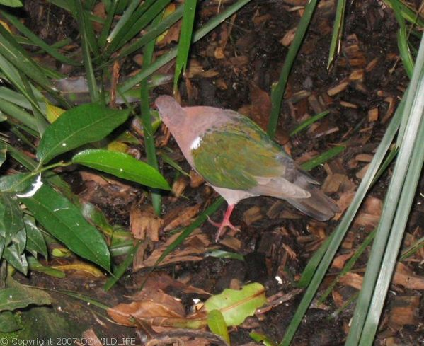 Green-winged Pigeon | Chalcophaps indica photo