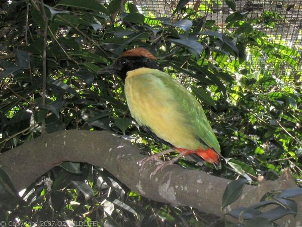Noisy Pitta | Pitta versicolor photo