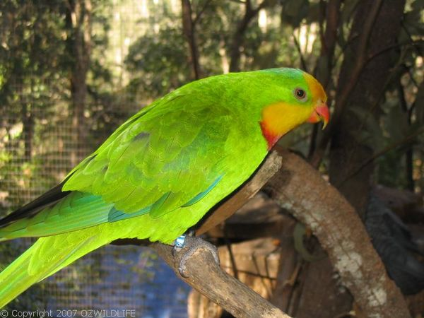 Superb Parrot | Polytelis swainsonii photo