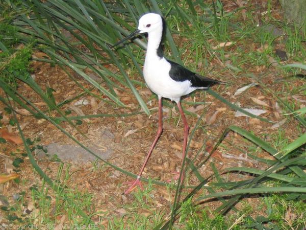 Black-winged Stilt | Himantopus himantopus photo