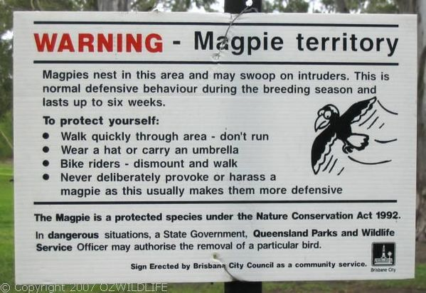 Australian Magpie   Gymnorhina tibicen photo