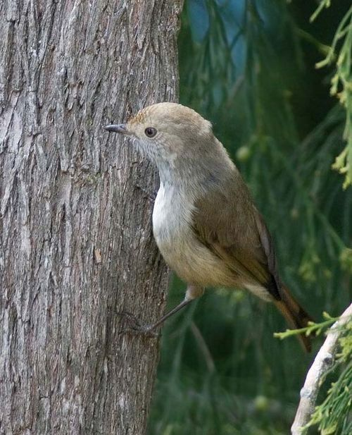 Tasmanian Thornbill | Acanthiza ewingii photo