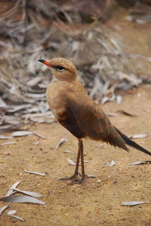 Australian Pratincole | Stiltia isabella photo