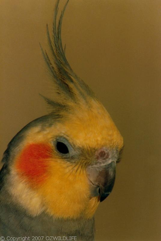 Cockatiel | Nymphicus hollandicus photo