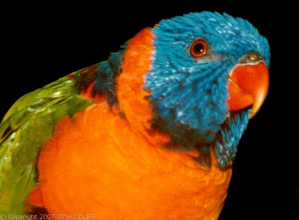 Red-collared Lorikeet | Trichoglossus rubritorquis photo