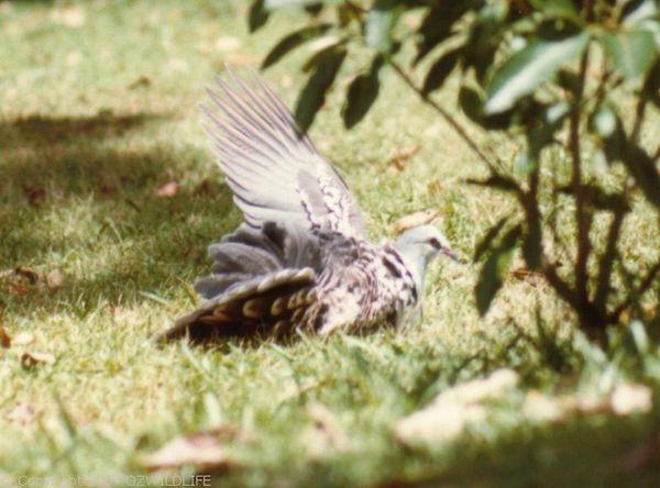 Wonga Pigeon   Leucosarcia melanoleuca photo