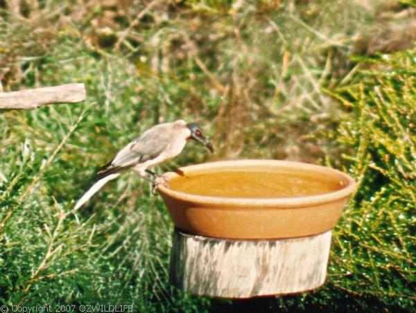 Noisy Friarbird   Philemon corniculatus photo