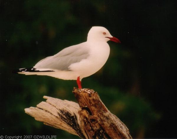 Silver Gull | Larus novaehollandiae photo
