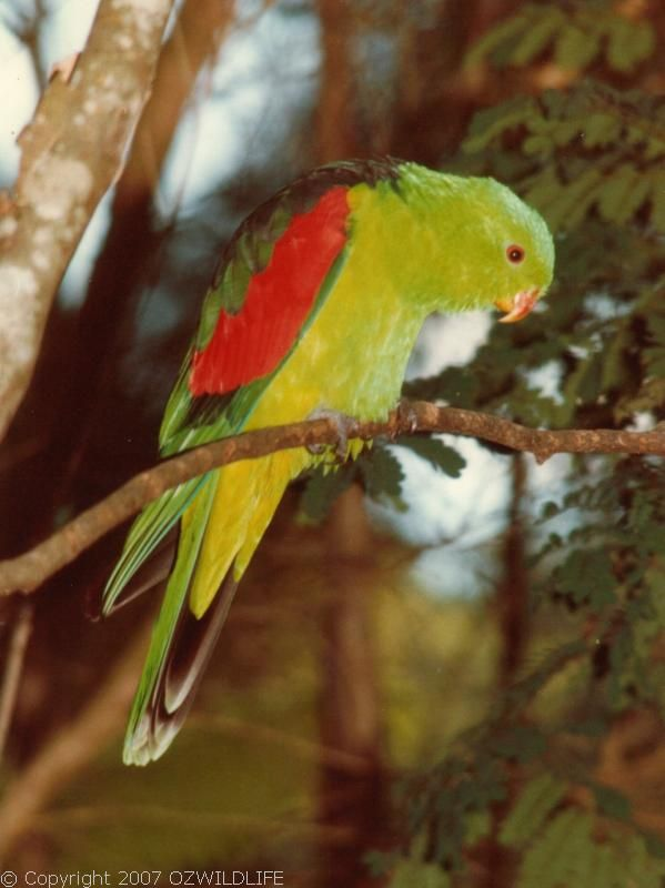 Red-winged Parrot | Aprosmictus erythropterus photo