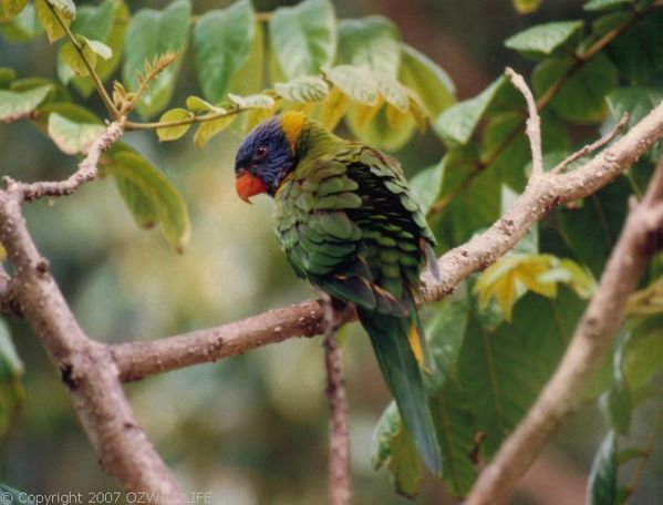 Rainbow Lorikeet | Trichoglossus haematodus photo