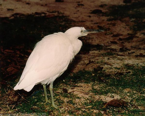 Reef Heron | Egretta sacra photo