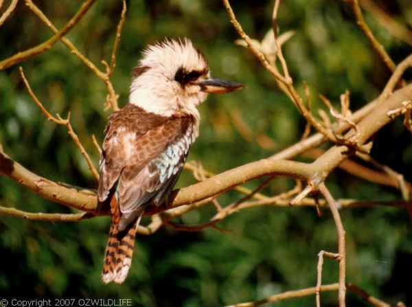 Laughing Kookaburra | Dacelo novaeguineae photo