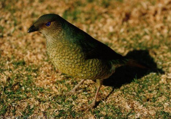 Satin Bower Bird | Ptilonorhynchus violaceus photo