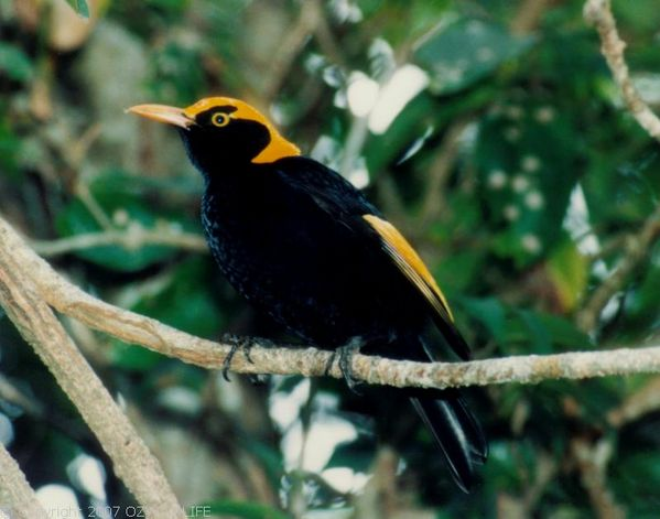 Regent Bower Bird | Sericulus chrysocephalus photo