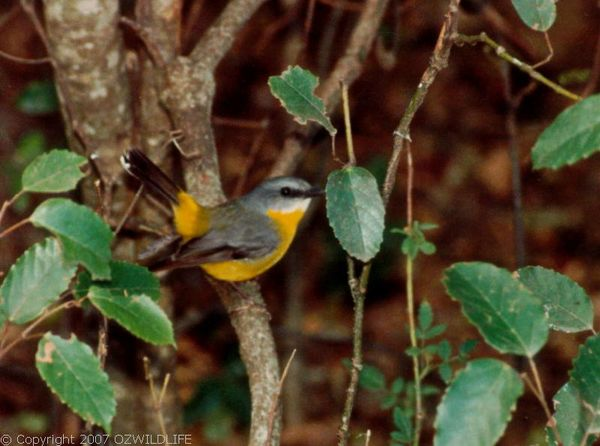 Eastern Yellow Robin | Eopsaltria australis photo