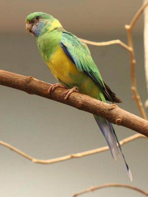 Cloncurry Parrot | Barnardius zonarius macgillivrayi photo