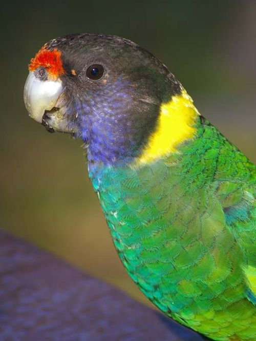Twenty-eight Parrot | Barnardius zonarius semitorquatus photo