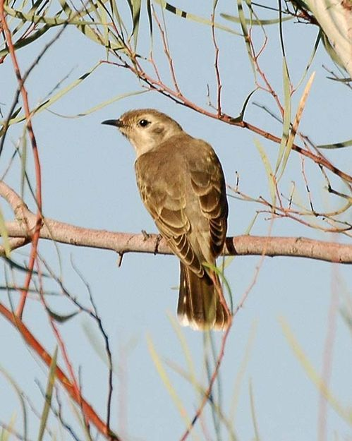 Black-eared Cuckoo | Chrysococcyx osculans photo