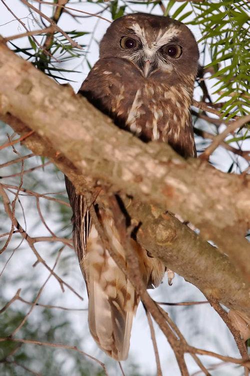 Boobook Owl | Ninox novaeseelandiae photo