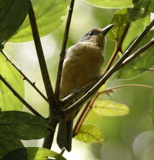 Bower's Shrike-thrush   Colluricincla boweri photo