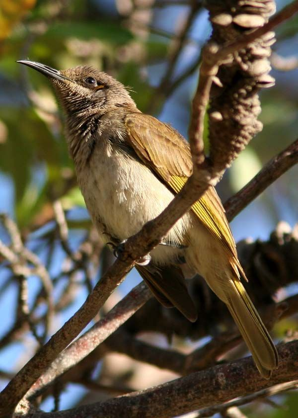 Brown Honeyeater | Lichmera indistincta photo