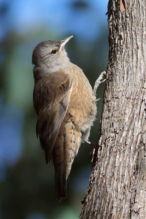 Brown Treecreeper | Climacteris picumnus photo