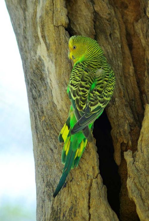 Budgerigar | Melopsittacus undulatus photo
