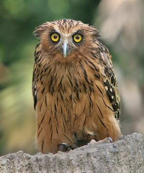 Buffy Fish-Owl | Ketupa ketupu photo
