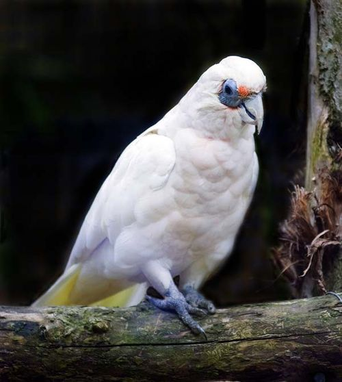 Bird - Australian Cockatoos
