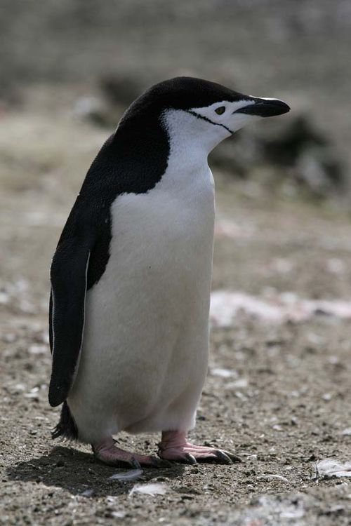 Chinstrap Penguin | Pygoscelis antarctica photo