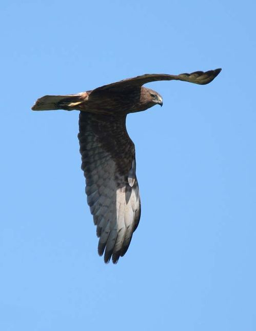 Swamp Harrier | Circus approximans photo