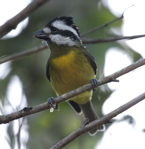 Crested Shrike-tit | Falcunculus frontatus photo