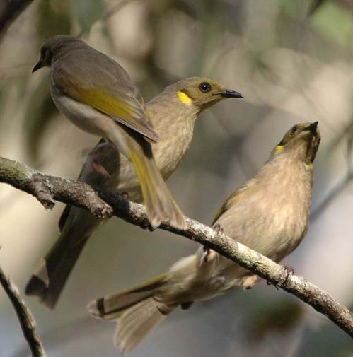 Fuscous Honeyeater | Lichenostomus fuscus photo