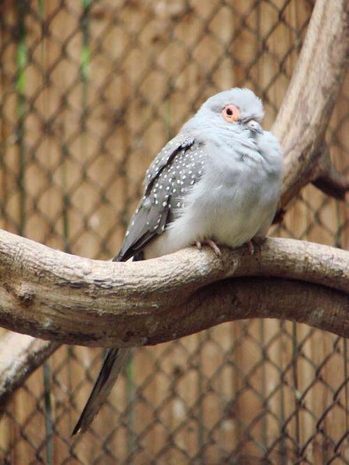 Diamond Dove | Geopelia cuneata photo