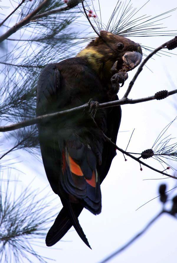 Glossy Black-Cockatoo | Calyptorhynchus lathami photo