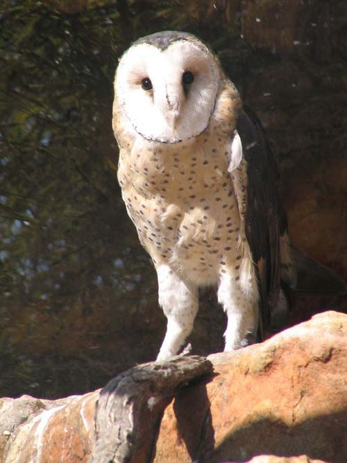 Grass Owl | Tyto capensis photo
