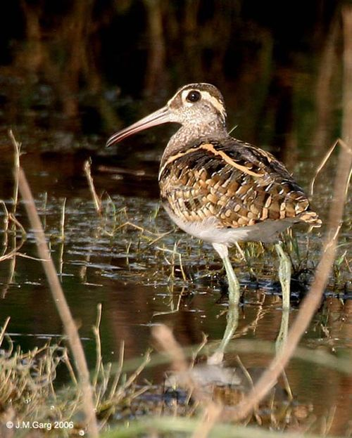 Painted Snipe | Rostratula benghalensis photo