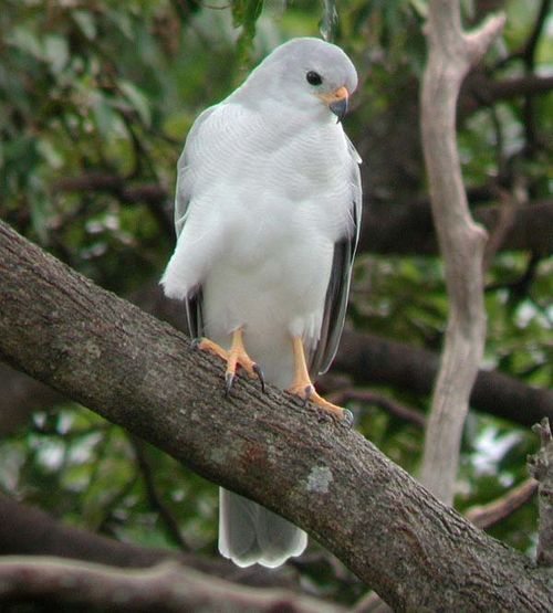 Grey Goshawk | Accipiter novaehollandiae photo