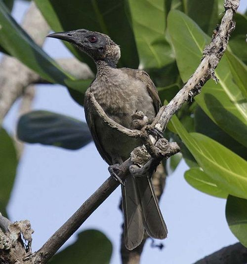 Helmeted Friarbird | Philemon buceroides photo