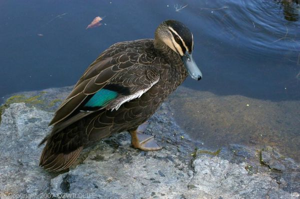 Pacific Black Duck | Anas superciliosa photo