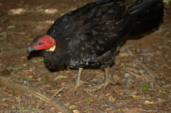 Australian Brush-turkey | Alectura lathami photo