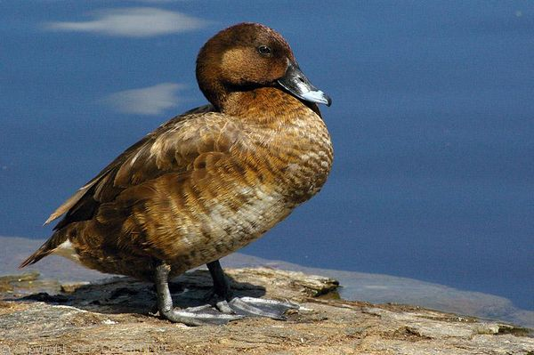 White-eyed Duck | Aythya australis photo